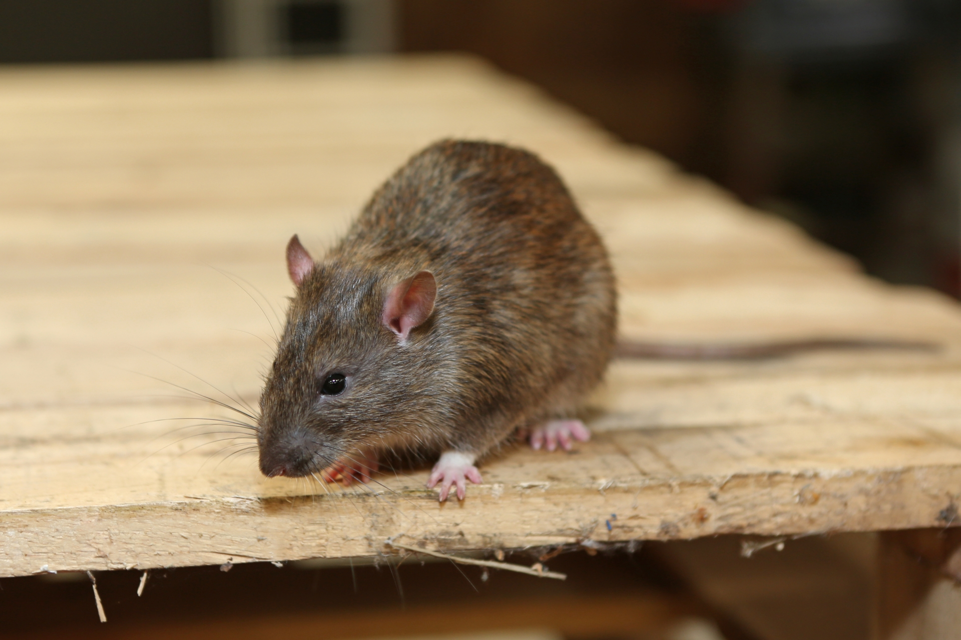 Rat extermination, Pest Control in Greenwich, SE10. Call Now 020 8166 9746