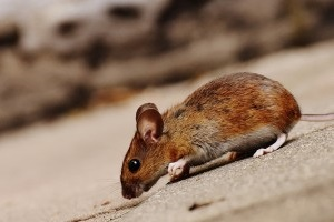 Mice Control, Pest Control in Greenwich, SE10. Call Now 020 8166 9746